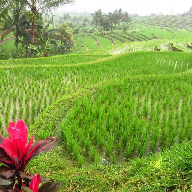 Llova en las plantaciones de arroz Lindo Bali Inolvidable Balihellip